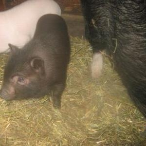 оросята вьетнамской вислобрюхой травоядной свиньи